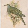 Bronze Wing Pigeon.