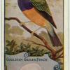 Gouldian Grass Finch.