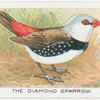 The Dimond Sparrow.