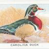 Carolina Duck.