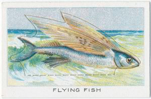 Flying Fish.