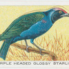 Purple Headed Glossy Starling.