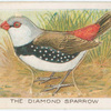 The diamond sparrow.