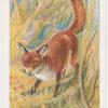 Common fox.