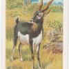 Black buck.