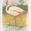 The flamingo.