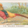 The golden pheasant.