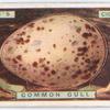 Common gull's egg.