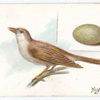 Nightingale, Philomela lushinia.