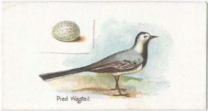 Pied wagtail, Motacilla lugubris.
