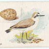 Kentish plover.
