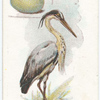 Common heron, Ardea cinerea.