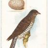 Cuckoo, Cuculus canorus.