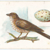 Song thrush, Turdus musicus.