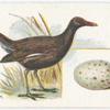 Moor-hen, Gallinula chloropus.