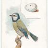 Blue titmouse, Parus caeruleus.