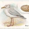 Sea gull, Larus argentatus.