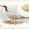 Common tern, Sterna hirundo.