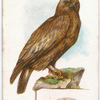Golden eagle, Aquila chrysactus.