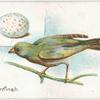 Greenfinch, Fringilla chloris.