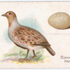 The common partridge.