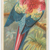 Red and blue macaw.