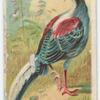 Swinhoe pheasant.