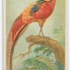 Black-throated golden pheasant.