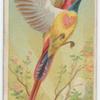 Fiery-tailed sun bird.