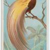 Great bird of paradise.