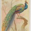India peacock.