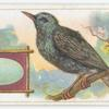 The starling.