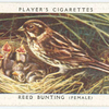 Reed bunting (female).