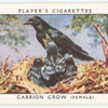 Carrion crow (female).