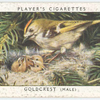 Goldcrest (male).