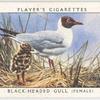 Black-headed gull (female).