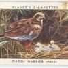 Marsh harrier (male).