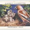 Hawfinch (male).