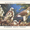 Sparrow hawk (female).
