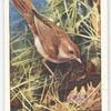 Nightingale (male).