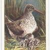 Redshank (female).