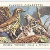 Missel thrush (male & female).