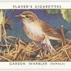 Garden warbler (female).