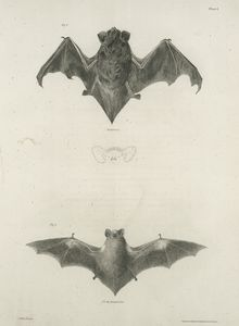 1. The Silver-Haired Bat (Vespertilio noctivagans); 2. The New York Bat (V. noveboracensis).