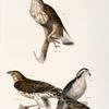 3. The Rough-legged Buzzard (Buteo sancti-joannis). 4,  5. The American Goshawk (Astur atricapillus).