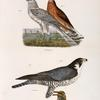 6. 7. The Marsh Harrier  (Circus uliginosus). 8. The Duck Hawk (Falco anatum).