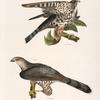 9. The Pigeon Hawk (Falco columbarius). 10. Cooper's Hawk (Astur cooperi).