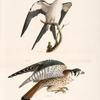 15. The Swallow-tailed Hawk (Nauclerus furcatus). 16. The American Sparrow Hawk (Falco Sparverius).