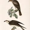 17. The Red-tailed Buzzard (Buteo borealis). 18. The Fish Hawk (Pandion carolinensis).