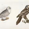 19. The Hawk Owl (Surnia funerea). 20. The Snow Owl (Surnia nyctea).
